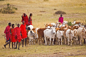 The Maasai people are driving their cattle in the Maasai Mara Kenya.  Wall mural