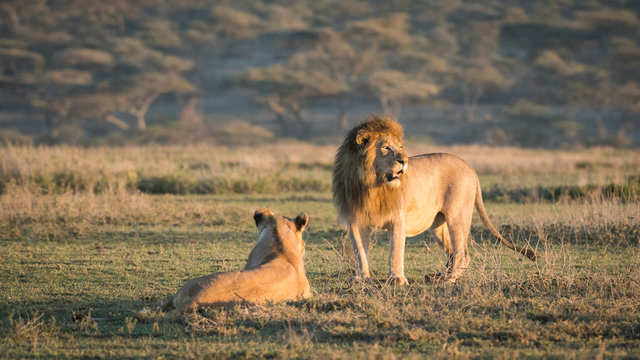 Africa, Tanzania, Ngorongoro Conservation Area. Male and female lions.