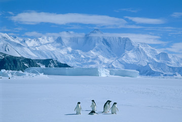 Adelie Penguins, (Pygoscelis adeliae), Antarctica, Cape Hallett, Victoria Land, Several adelie penguins on sea ice.