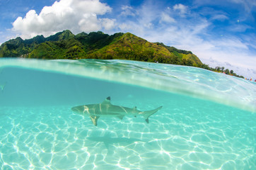 Foto op Plexiglas Groene koraal Split shot of black tip reef shark swiming in the clear waters of Moorea Island in French Polynesia