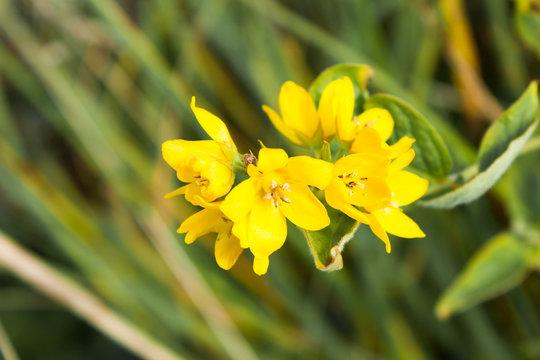 yellow flowers of the common loosestrife (Lysimachia vulgaris), selective focus
