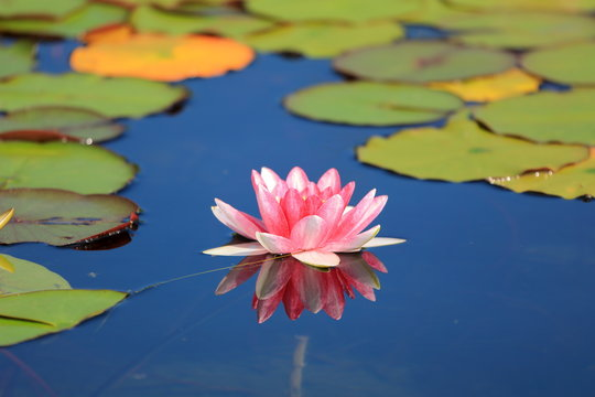 Pink water lily with green lily pads