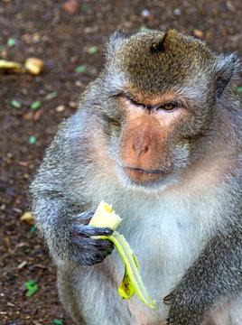 Cambodia. Monkey eats banana at tourist stop.