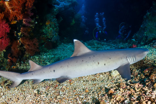 White Tip Reef Shark with Background SCUBA Divers on a Coral Reef (Gato Island)