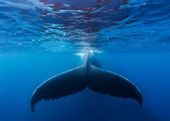 A large humpback whale fluke near the surface of the clear blue water of the Silver Bank, Dominican Republic
