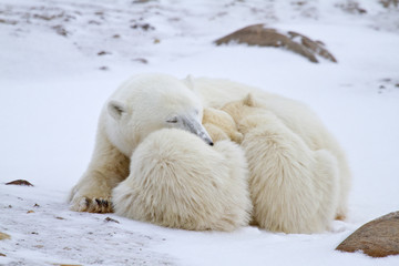 Polar bears (Ursus maritimus) mother and two cubs in winter, Churchill Wildlife Management Area, Churchill, Manitoba, Canada.
