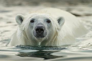 Printed roller blinds Polar bear Canada, Nunavut Territory, Repulse Bay, Polar Bear (Ursus maritimus) wading along shallow shoreline of Harbour Islands along Hudson Bay on summer morning