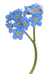 forget me not flower