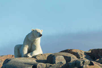 Printed roller blinds Polar bear Canada, Nunavut Territory, Repulse Bay, Polar Bears (Ursus maritimus) resting on stony slopes of Harbour Islands along Hudson Bay