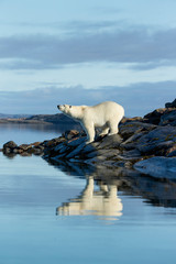 In de dag Ijsbeer Canada, Nunavut Territory, Repulse Bay, Polar Bears (Ursus maritimus) standing along shoreline of Harbour Islands along Hudson Bay