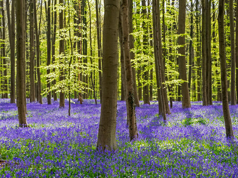 Spring in the Blue Forest