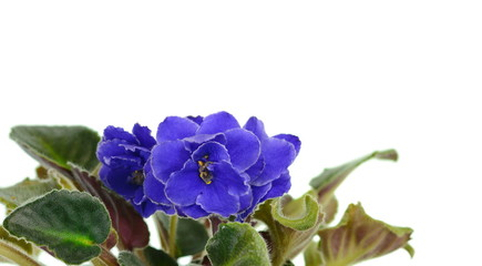 Potted African Violet isolated on white