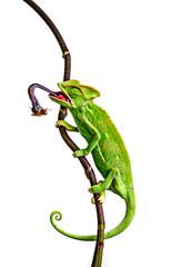 Wall Mural - green chameleon - Chamaeleo calyptratus hunting