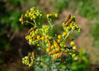 Raupen vom Jakobskrautbär (Tyria jacobaeae) Standort: Deutschland, Nordrhein-Westfalen, Borken
