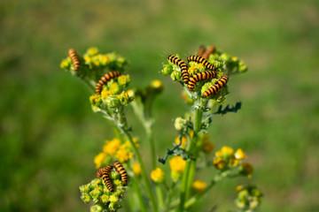 Gruppe Raupen vom Jakobskrautbär (Tyria jacobaeae) Standort: Deutschland, Nordrhein-Westfalen, Borken