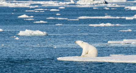Norway, Svalbard. Polar bear sitting in the sunshine on edge of sea ice.