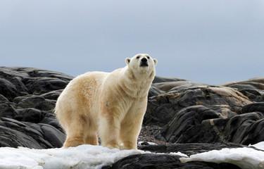 Deurstickers Ijsbeer Norway, Svalbard. Polar bear on snow surrounded by dark rocks and snow.