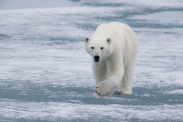 Printed roller blinds Polar bear Norway, Svalbard. Polar bear walks over ice. Credit as: Josh Anon / Jaynes Gallery / DanitaDelimont.com