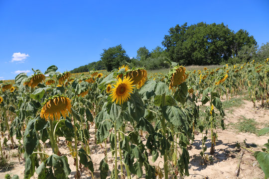 A dried field of sunflowers in summer in France on a sunny day against a blue sky