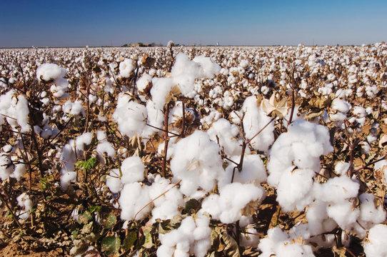 Cotton Plant, Gossypium hirsutum, cotton field, Lubbock, Panhandle, Texas, USA, September