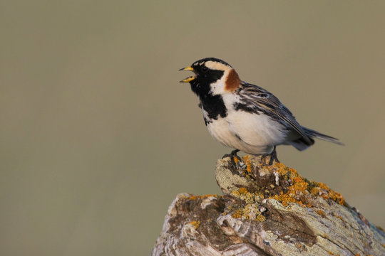 Lapland longspur singing
