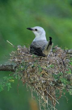Scissor-tailed Flycatcher, Tyrannus forficatus,adult on nest, Welder Wildlife Refuge, Sinton, Texas, USA, June