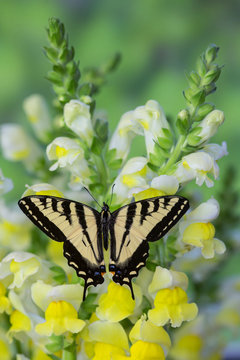 Western Tiger Swallowtail Butterfly, Papilio rutulus.