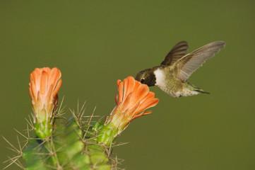 Black-chinned Hummingbird, Archilochus alexandri, male in flight feeding on Claret Cup Cactus (Echinocereus triglochidiatus), Uvalde County, Hill Country, Texas, USA, April Fotoväggar
