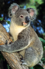 Wall Murals Koala Koala, (Phascolarctos cinereus), Australia, portrait of a koala in an eucalyptus tree.