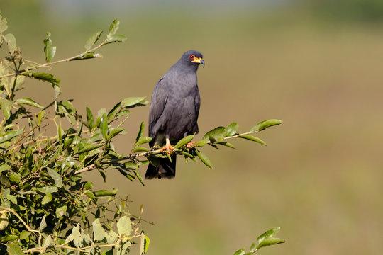 Brazil, Mato Grosso, The Pantanal, snail kite (Rostrhamus sociabilis) on a branch.