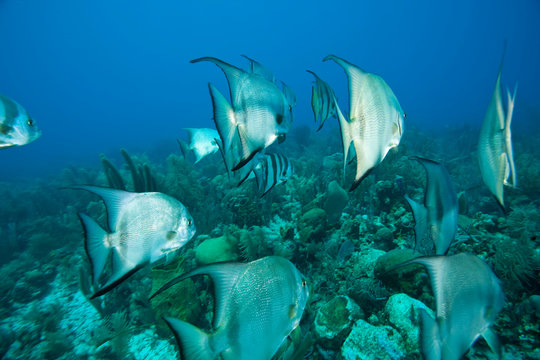 Atlantic Spadefish (Chaetodipterus faber, Caribbean Scuba Diving, Roatan, Bay Islands, Honduras, Central America