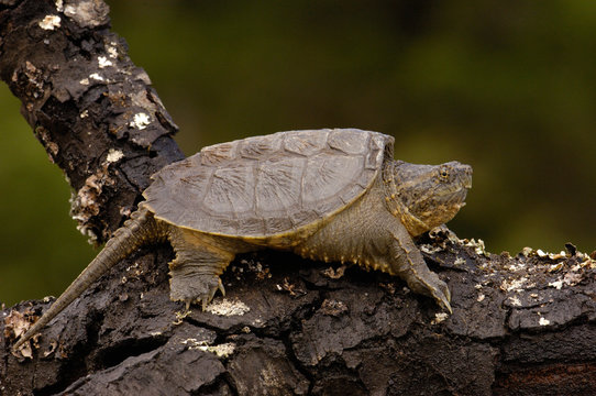 Alligator snapping turtle or South American Snapping turtle (Chelydra acutirostris serpentina) Northwest Ecuador.
