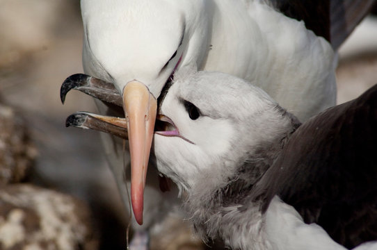 Falkland Islands, West Falkland, West Point Island aka Albatross Island. Black-browed albatross (wild: Thalassarche melanophris)