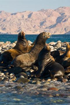 Mexico, Baja California, Bahia de las Animas. Sea Lion island - haul out for California Sea Lions (Zalophus californianus) Dramatic mountains backdrop. Bulls vocal and curious