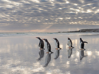 Gentoo Penguin (Pygoscelis Papua) on the sandy beach of Volunteer Point. Falkland Islands