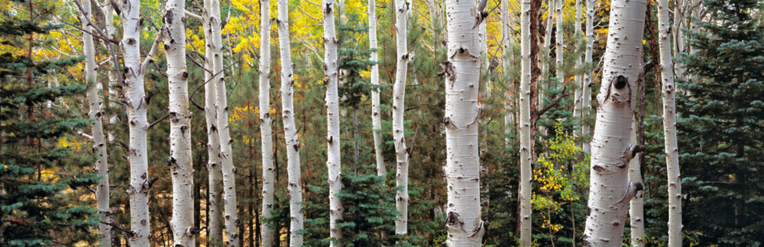 USA, Arizona, Kaibab NF. Colorado blue spruce trees are usually found in aspen forests such as this in Kaibab National Forest, Arizona.