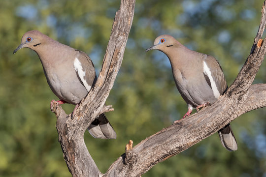 USA, Arizona, Amado. Pair of white-winged doves perched on tree branch.