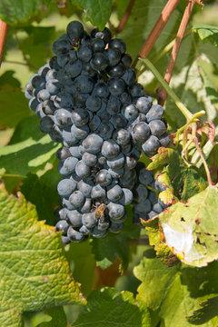 Uruguay, Montevideo, Colon area. Bodegas Carrau Winery, est. 1752. Winery vineyards.
