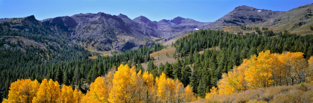 USA, California, Sonora Pass. Golden autumn leaves contrast the deep green of the pines in Sonora Pass, Sierra Nevada, California.