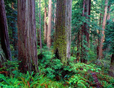 USA, California, Prairie Creek Redwoods State Park, Redwoods (Sequoia sempervirens) tower above ferns and seedlings in understory.