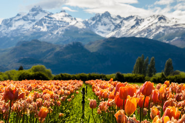 Foto op Canvas Tulp Tulip fields in Patagonia Argentina with mountains background