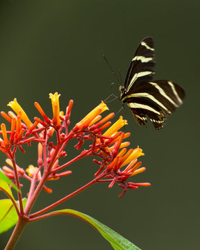 Zebra longwing on fire bush flowers, Hamelia patens, Central Florida