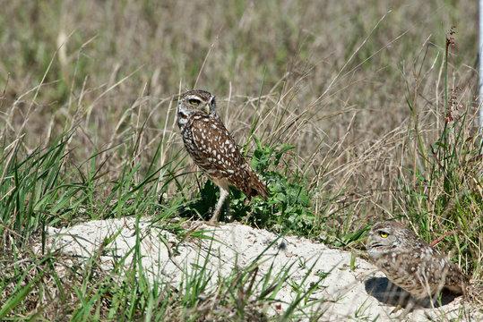USA, Florida, Cape Coral, Seahawk Park, Burrowing Owl Pair at Nest Burrow