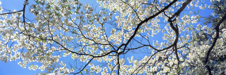USA, Georgia, Atlanta. Backlighting accentuates the white dogwood blossoms at the Botanical Gardens in Atlanta, Georgia
