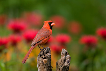 Northern Cardinal (Cardinalis cardinalis) male on fence post in flower garden, Marion, Illinois, USA.