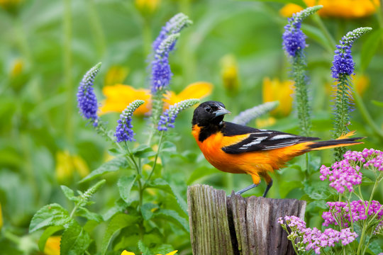 Baltimore Oriole (Icterus galbula) male on post in flower garden with Pink Yarrow, Blue Veronica, and Black-eyed Susans, Marion, Illinois, USA.