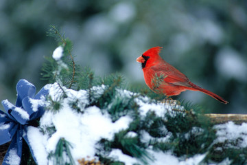 Northern Cardinal (Cardinalis cardinalis) male on fence with holiday greenery in winter, Marion County, Illinois