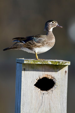 Wood Duck (Aix sponsa) female on nest box in wetland, Marion, Illinois, USA.