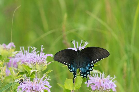 Spicebush Swallowtail (Papilio Troilus) on Wild Bergamot (Monarda fistulosa) Marion County, Illinois
