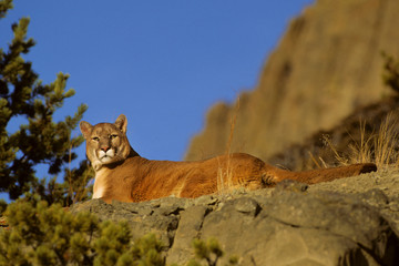 Photo sur Aluminium Puma Mountain Lion (Felis Concolor) (Captive), Montana